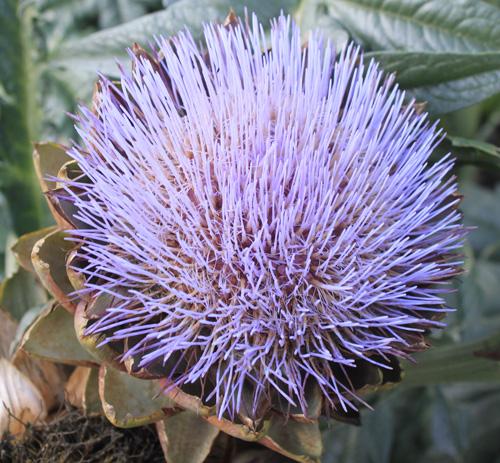 Kew Asparagus Flower