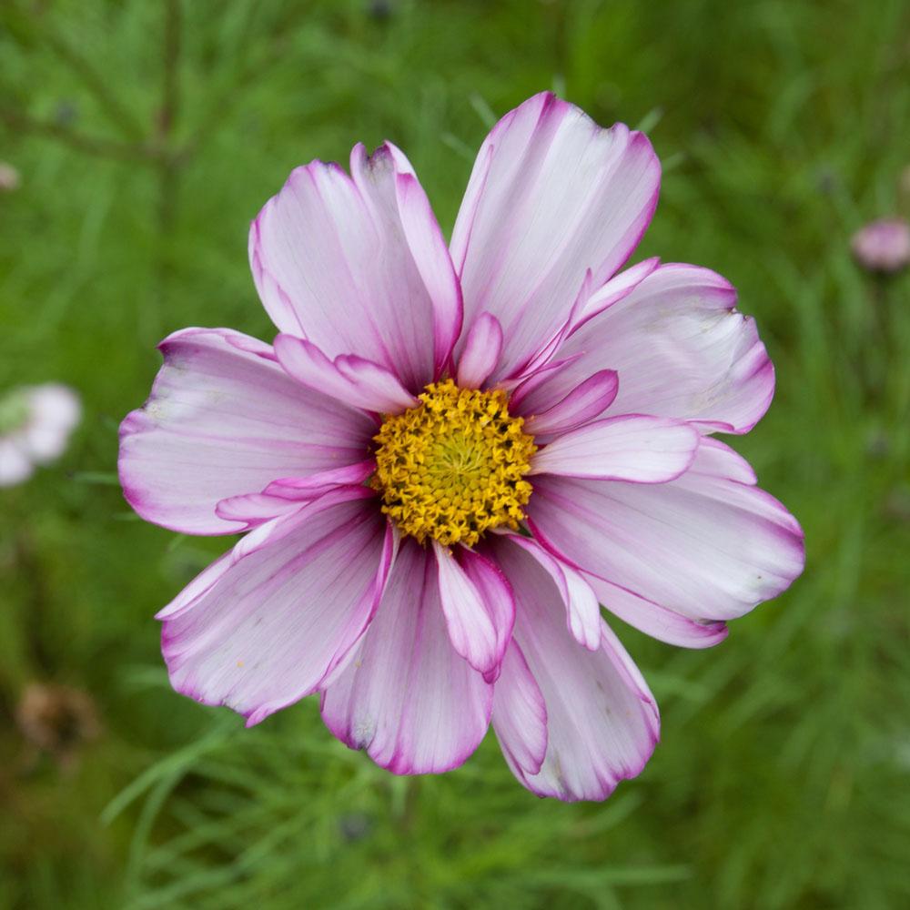 Pink and white flower at the Royal Botanic Gardens, Edinburgh, September 2015