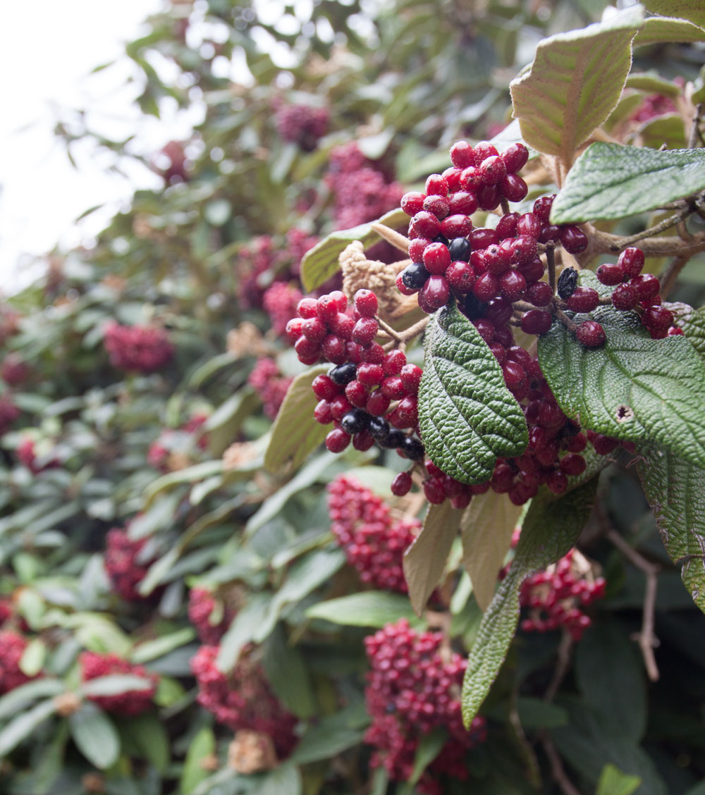 Red and black berries on a green bush
