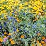 A mass of flowers at the Royal Botanic Gardens Edinburgh September 2015