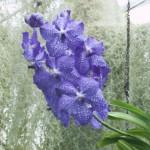 Purple Flower in the Glass House. Photographed at Royal Botanic Garden Edinburgh 2015