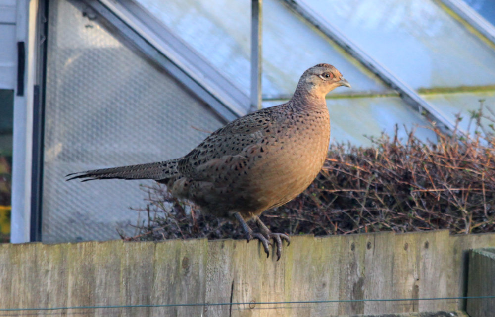 A female pheasant photographed on Christmas Eve 2016 standing on a fence in front of a green house