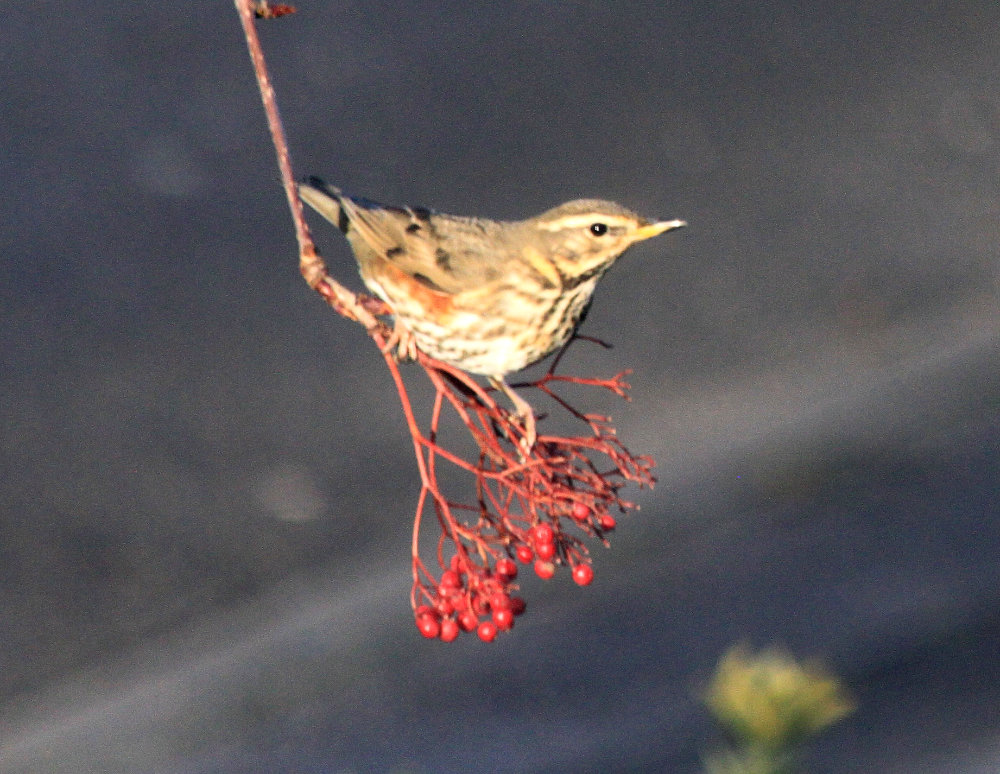 A redwing standing at the end of a branch with red berries